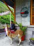 Alausi Ecuador Lama som tjänar som turister på järnvägsstationjäkelns näsa royaltyfri bild