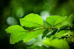 alava fagus naturalnego parka sylvatica valderejo Obraz Royalty Free