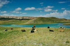 Alay Valley , cow grazes. Cow grazes Pik Lenin, Sary Mogul, Altai and Pamir Mountains, Kyrgyzstan, Central Asia royalty free stock photo