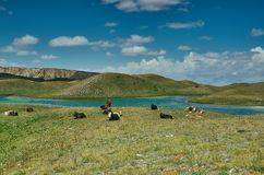 Alay Valley , cow grazes. Cow grazes Pik Lenin, Sary Mogul, Altai and Pamir Mountains, Kyrgyzstan, Central Asia royalty free stock image