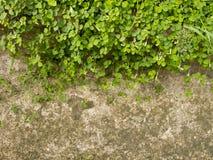Alazán de madera o acetosella L. de Oxalis. Fotografía de archivo