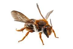 Albañil del nombre del sticticum del Anthidium de la especie de la abeja o abeja de alfarero común Fotografía de archivo
