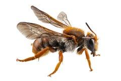 Albañil del nombre del sticticum del Anthidium de la especie de la abeja o abeja de alfarero común Foto de archivo libre de regalías
