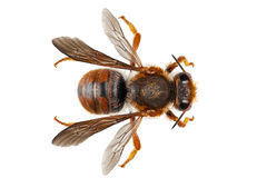 Albañil del nombre del sticticum del Anthidium de la especie de la abeja o abeja de alfarero común Fotografía de archivo libre de regalías