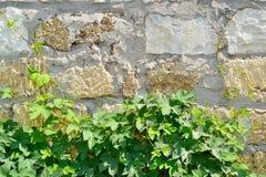 Albañilería y planta verde rizada joven Fotos de archivo libres de regalías