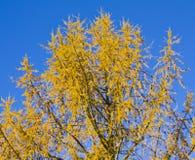 alba ασήμι έλατου φθινοπώρου Στοκ Εικόνες