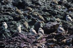 Alba και κατακόκκινο Arenaria turnstone Calidris Sanderling interpres Στοκ Εικόνες
