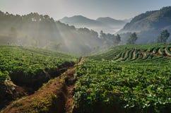 Alba all'azienda agricola delle fragole in Tailandia Fotografia Stock