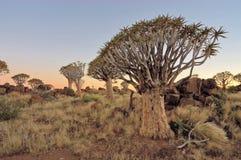 Alba alla foresta dell'albero della faretra, Namibia Fotografie Stock Libere da Diritti