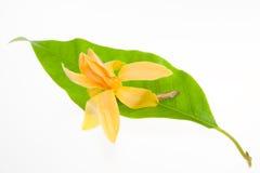 Alba amarillo de Michelia aislada en blanco Imágenes de archivo libres de regalías