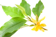 Alba amarillo de Michelia aislada en blanco Imagen de archivo libre de regalías