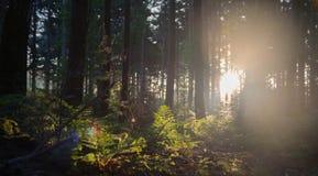 Alba attraverso gli alberi della foresta Immagini Stock Libere da Diritti