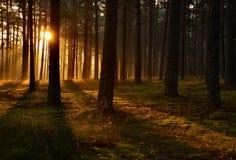Alba attraverso gli alberi in una foresta Fotografie Stock Libere da Diritti