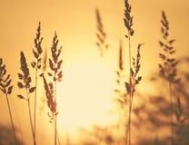Alba attraverso i giacimenti di grano Immagine Stock
