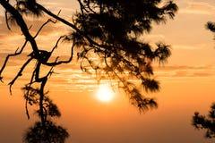 Alba attraverso i rami del pino Immagine Stock Libera da Diritti