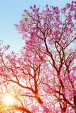 Alba attraverso l'albero di jakaranda immagine stock