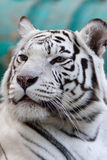 alba Bengal panthera tygrysi Tigris var zdjęcia royalty free