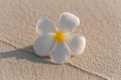 Alba bloem van Plumeria Stock Fotografie