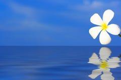 Alba Blume des Plumeria stockfotos