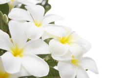 Alba Blumen des Plumeria stockfoto
