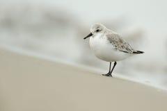 alba calidris sanderling стоковые фото