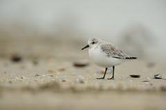 alba calidris sanderling стоковые изображения