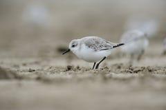alba calidris sanderling стоковое фото rf