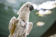 Alba Cockatoo White-crowned high Royalty Free Stock Images