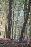 Alba con l'albero caduto nella foresta di campanula immagine stock