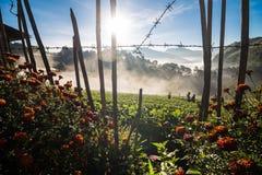 Alba con nebbia sul campo della piantagione della fragola in Angkhang alto Fotografia Stock