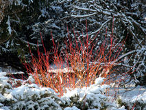 Alba Cornus - dekorativ buske med röda stems Royaltyfri Bild