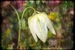 Alba de textuurachtergrond van Fritillariameleagris stock afbeeldingen