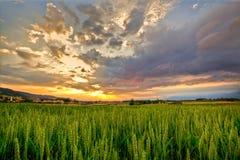 Alba del campo di frumento Fotografie Stock