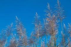 Alba del fiore della canna da zucchero Fotografie Stock Libere da Diritti