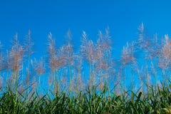 Alba del fiore della canna da zucchero Fotografia Stock Libera da Diritti