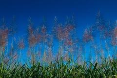 Alba del fiore della canna da zucchero Fotografia Stock