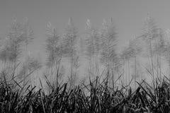 Alba del fiore della canna da zucchero Fotografie Stock