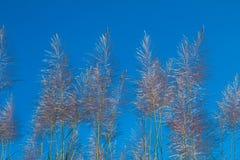Alba del fiore della canna da zucchero Immagine Stock Libera da Diritti