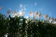 Alba del fiore della canna da zucchero, cielo blu di bellezza Immagini Stock