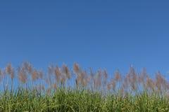 Alba del fiore della canna da zucchero, cielo blu di bellezza Immagini Stock Libere da Diritti