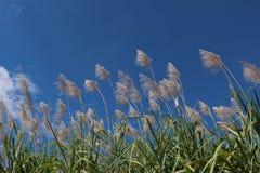 Alba del fiore della canna da zucchero, cielo blu di bellezza Fotografie Stock Libere da Diritti