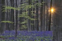 Alba della foresta della molla di Hallerbos Fotografia Stock Libera da Diritti