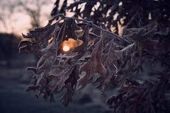 Alba di caduta tramite le foglie della quercia Immagini Stock Libere da Diritti