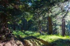 Alba di estate nel supporto conifero della montagna di Bieszczady Fotografie Stock Libere da Diritti