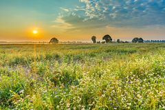 Alba di estate sopra il giacimento di fioritura del grano saraceno con le erbacce Fotografie Stock