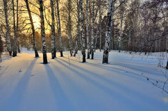 Alba di inverno nel boschetto delle betulle Fotografie Stock