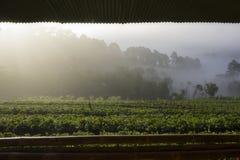 Alba di mattina all'azienda agricola della fragola Fotografie Stock Libere da Diritti