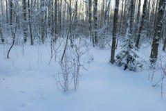 Alba di mattina di inverno della foresta della neve della betulla fotografia stock libera da diritti