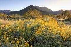 Alba di primavera nel deserto di Sonoran Immagine Stock