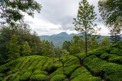 Alba di primo mattino con nebbia alla piantagione di tè Immagini Stock Libere da Diritti